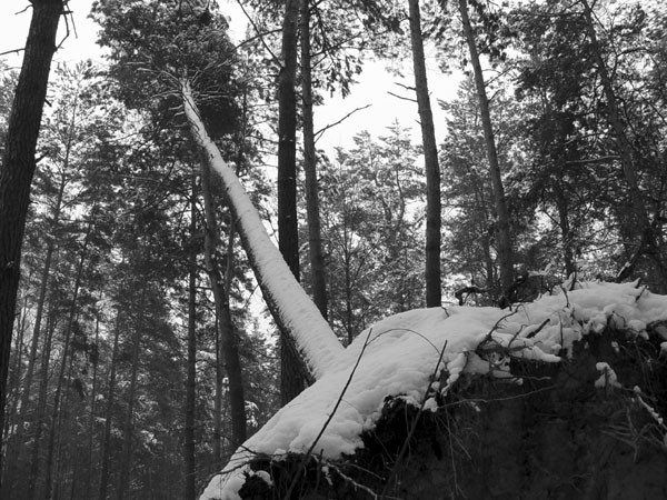 Starachowice, a fallen tree in the wood