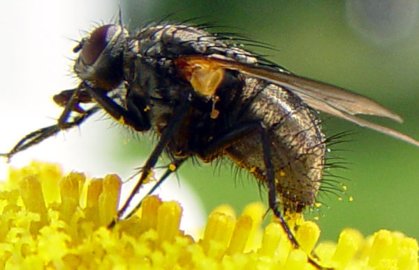 fly closeup